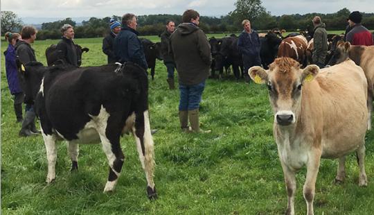 LIC UK cows grazing in field